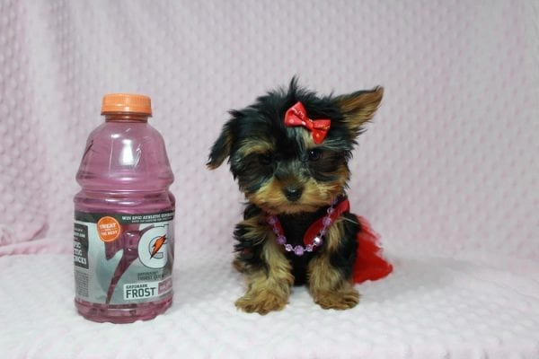 Selena Gomez - Teacup Yorkie in Las Vegas has found a good loving home with Rochelle from Las Vegas-22987