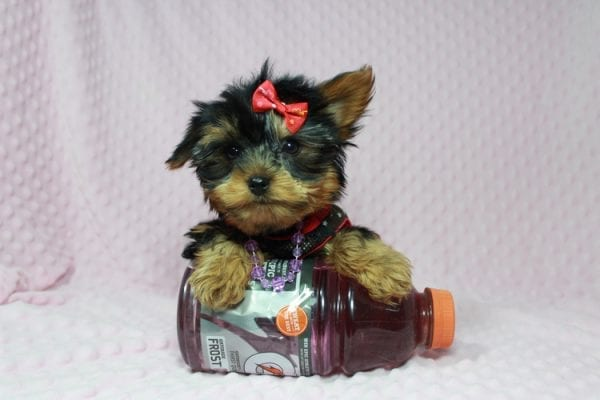 Selena Gomez - Teacup Yorkie in Las Vegas has found a good loving home with Rochelle from Las Vegas-22988