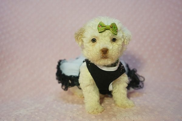 Sierra Mist - Teacup Maltipoo Puppy In Las Vegas has found a good loving home with Amber from Henderson, NV 89052-22318