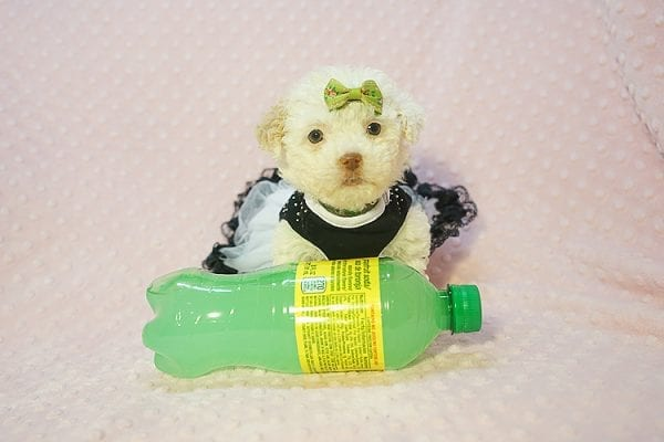 Sierra Mist - Teacup Maltipoo Puppy In Las Vegas has found a good loving home with Amber from Henderson, NV 89052-22321