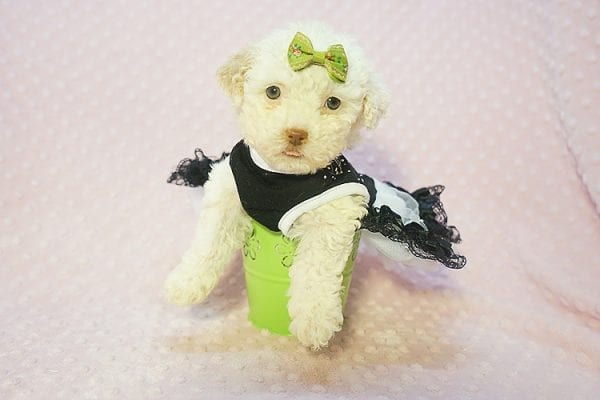 Sierra Mist - Teacup Maltipoo Puppy In Las Vegas has found a good loving home with Amber from Henderson, NV 89052-22323