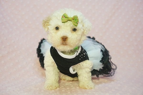 Sierra Mist - Teacup Maltipoo Puppy In Las Vegas has found a good loving home with Amber from Henderson, NV 89052-22319