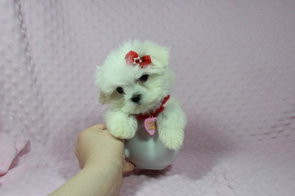 Star Darling - Teacup Maltese Puppy has found a good loving home with Javier Hernandez, Watsonville CA 95076.-22342