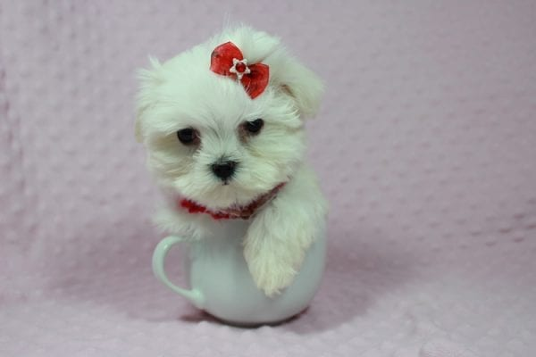 Star Darling - Teacup Maltese Puppy has found a good loving home with Javier Hernandez, Watsonville CA 95076.-22341