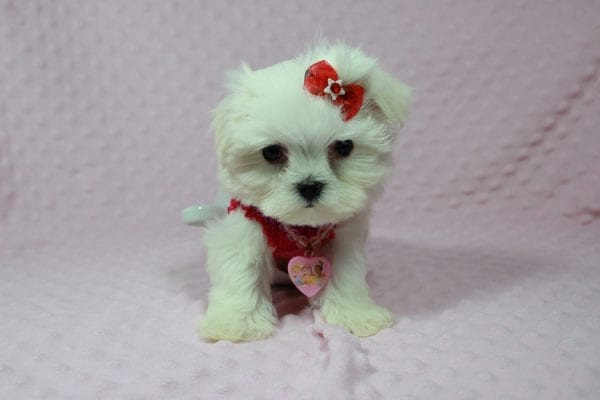 Star Darling - Teacup Maltese Puppy has found a good loving home with Javier Hernandez, Watsonville CA 95076.-22344