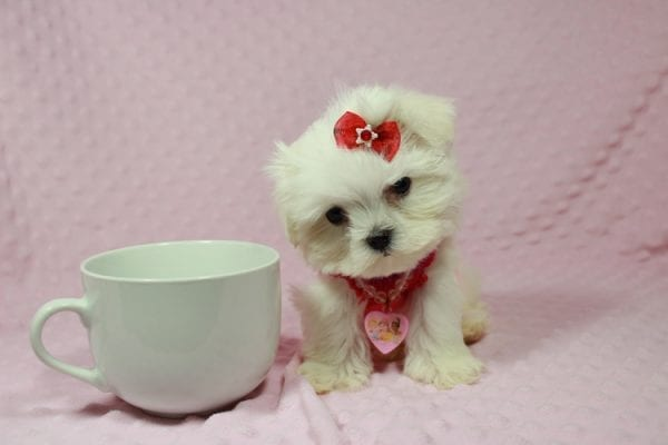 Star Darling - Teacup Maltese Puppy has found a good loving home with Javier Hernandez, Watsonville CA 95076.-0