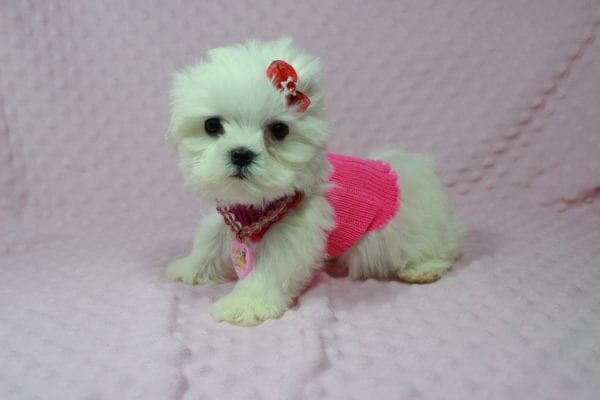 Star Darling - Teacup Maltese Puppy has found a good loving home with Javier Hernandez, Watsonville CA 95076.-22337