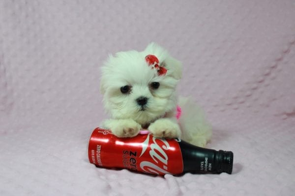 Star Darling - Teacup Maltese Puppy has found a good loving home with Javier Hernandez, Watsonville CA 95076.-22338