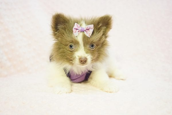 Stevie Nicks - Teacup Pomeranian Found Her New Loving Home with Grigor From Glendale CA 91206-22582
