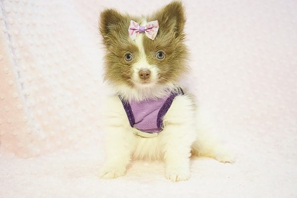 Stevie Nicks - Teacup Pomeranian Found Her New Loving Home with Grigor From Glendale CA 91206-0