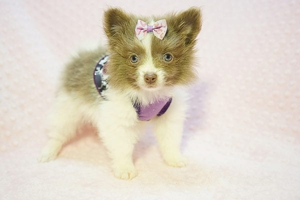 Stevie Nicks - Teacup Pomeranian Found Her New Loving Home with Grigor From Glendale CA 91206-22583