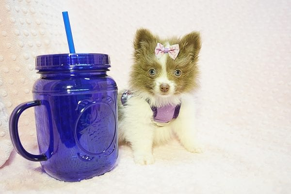 Stevie Nicks - Teacup Pomeranian Found Her New Loving Home with Grigor From Glendale CA 91206-22586
