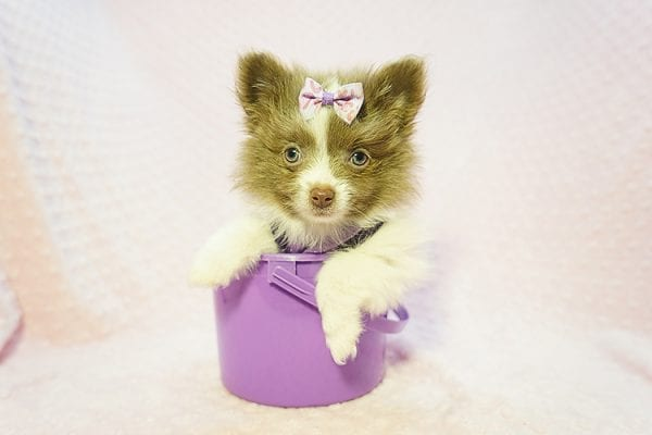 Stevie Nicks - Teacup Pomeranian Found Her New Loving Home with Grigor From Glendale CA 91206-22585