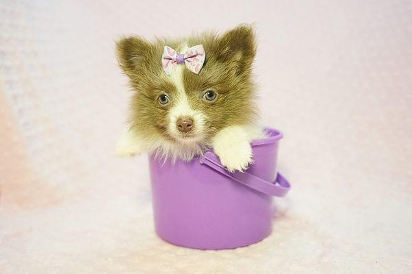Stevie Nicks - Teacup Pomeranian Found Her New Loving Home with Grigor From Glendale CA 91206-22587