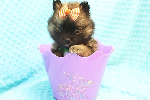 Thor - Teacup Pomeranian Puppy Found His Forever Home With Yolanda in 90240-22107