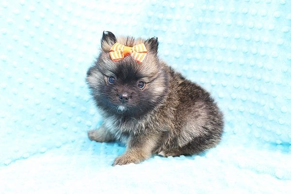 Thor - Teacup Pomeranian Puppy Found His Forever Home With Yolanda in 90240-22100