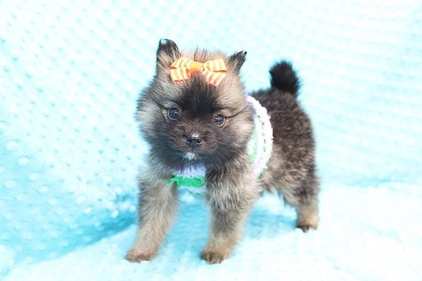 Thor - Teacup Pomeranian Puppy Found His Forever Home With Yolanda in 90240-22102
