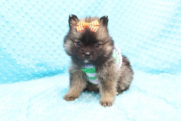 Thor - Teacup Pomeranian Puppy Found His Forever Home With Yolanda in 90240-0