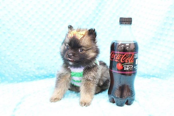 Thor - Teacup Pomeranian Puppy Found His Forever Home With Yolanda in 90240-22104