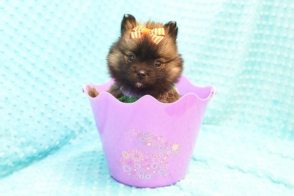 Thor - Teacup Pomeranian Puppy Found His Forever Home With Yolanda in 90240-22105