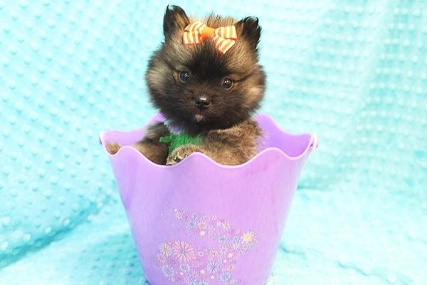 Thor - Teacup Pomeranian Puppy Found His Forever Home With Yolanda in 90240-22106