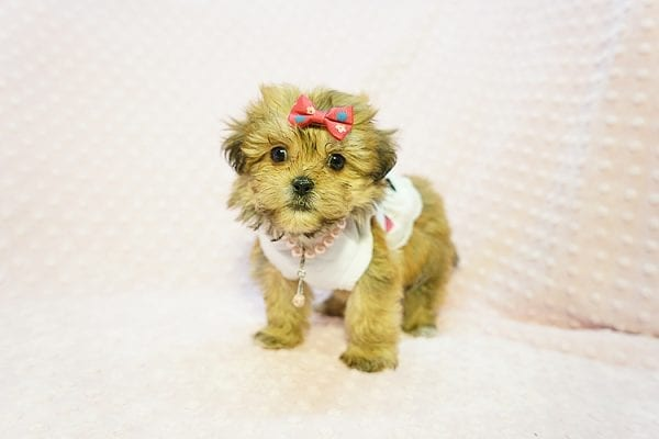 Tiger Lili - Teacup Malshih Puppy In Los Angeles-23194