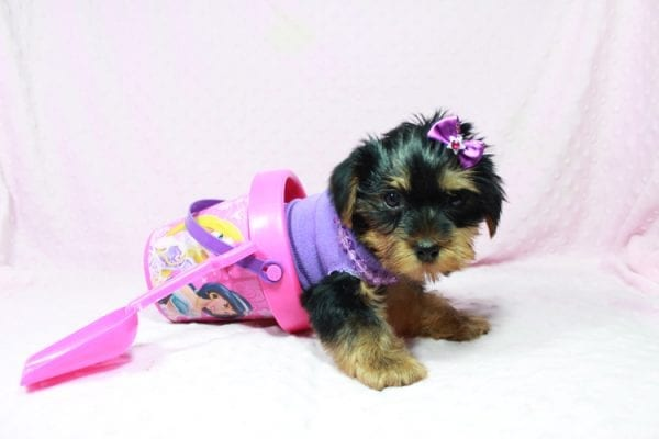 Tulip - Toy Yorkie Puppy In Las Vegas has found a good loving home with Wandy from Las Vegas, NV 89108-0