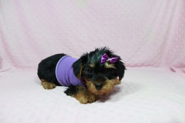 Tulip - Toy Yorkie Puppy In Las Vegas has found a good loving home with Wandy from Las Vegas, NV 89108-22602