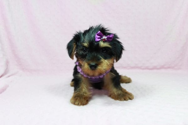 Tulip - Toy Yorkie Puppy In Las Vegas has found a good loving home with Wandy from Las Vegas, NV 89108-22603