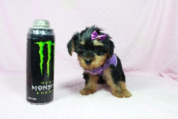 Tulip - Toy Yorkie Puppy In Las Vegas has found a good loving home with Wandy from Las Vegas, NV 89108-22604