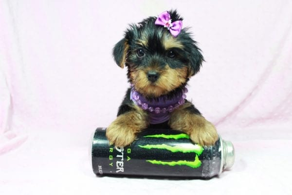Tulip - Toy Yorkie Puppy In Las Vegas has found a good loving home with Wandy from Las Vegas, NV 89108-22605
