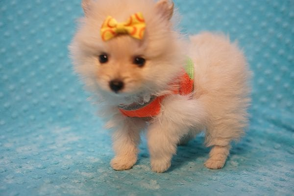 U2 - Teacup Pomeranian Puppy Found His New Loving Home with Jennifer from Hidden Hills CA 91302-22465