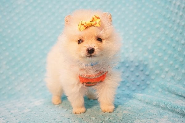 U2 - Teacup Pomeranian Puppy Found His New Loving Home with Jennifer from Hidden Hills CA 91302-22464