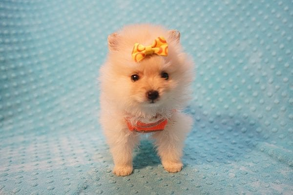 U2 - Teacup Pomeranian Puppy Found His New Loving Home with Jennifer from Hidden Hills CA 91302-22466