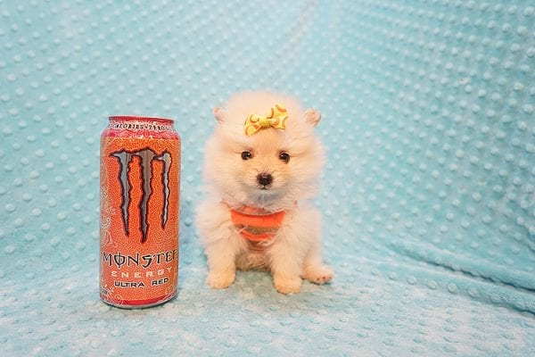 U2 - Teacup Pomeranian Puppy Found His New Loving Home with Jennifer from Hidden Hills CA 91302-22469