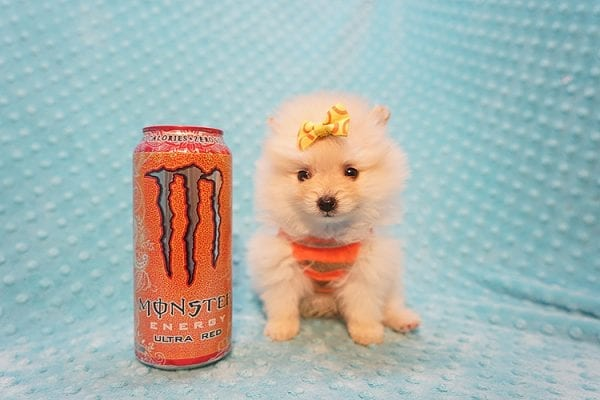 U2 - Teacup Pomeranian Puppy Found His New Loving Home with Jennifer from Hidden Hills CA 91302-22470