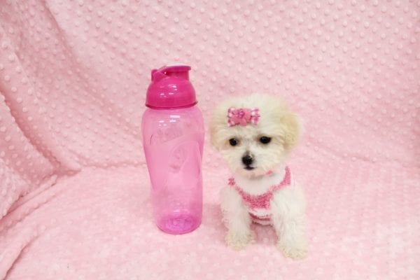 Albi- Tiny Teacup MaltiPoo Puppy in Costa Mesa-0