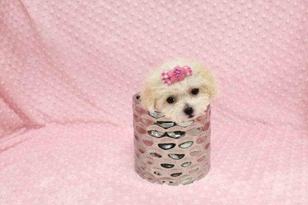 Albi- Tiny Teacup MaltiPoo Puppy in Costa Mesa-22956