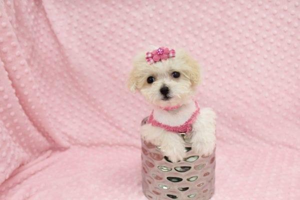 Albi- Tiny Teacup MaltiPoo Puppy in Costa Mesa-22957