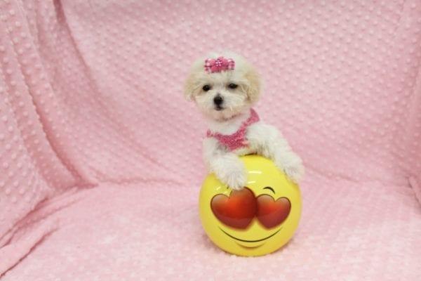 Albi- Tiny Teacup MaltiPoo Puppy in Costa Mesa-22958