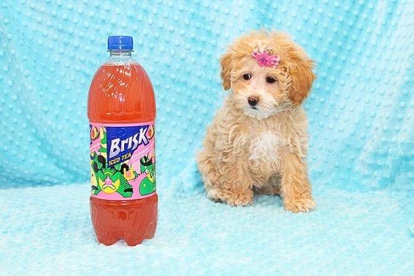 Bally- Toy MaltiPoo Puppy in Costa Mesa-22920