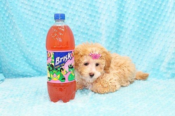 Bally- Toy MaltiPoo Puppy in Costa Mesa-22919