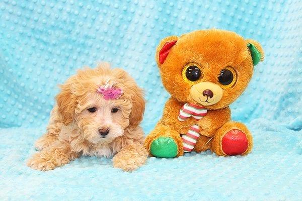 Bally- Toy MaltiPoo Puppy in Costa Mesa-22922