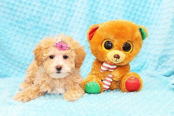 Bally- Toy MaltiPoo Puppy in Costa Mesa-22921