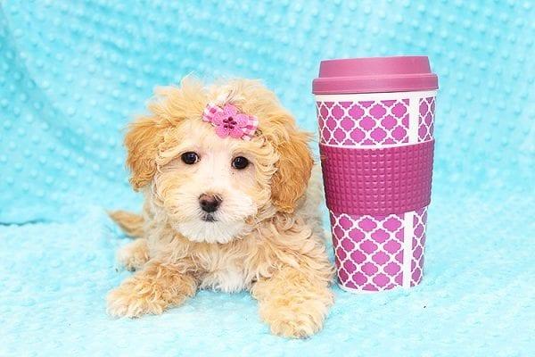 Bally- Toy MaltiPoo Puppy in Costa Mesa-0
