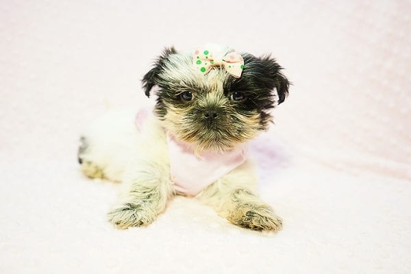 Cardi B - Teacup Shih Tzu adpoted by Mia robison in 92683-0