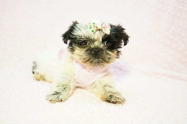 Cardi B - Teacup Shih Tzu adpoted by Mia robison in 92683-22805