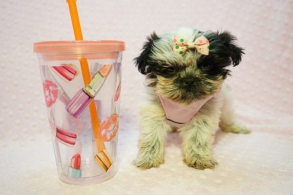 Cardi B - Teacup Shih Tzu adpoted by Mia robison in 92683-22808