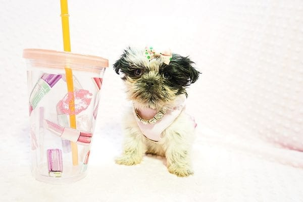Cardi B - Teacup Shih Tzu adpoted by Mia robison in 92683-22807