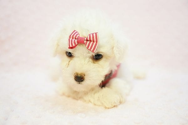 Daisy - Teacup Maltipoo Puppy Found her New Loving Home with Ruben form Palmdale CA 93551-22775